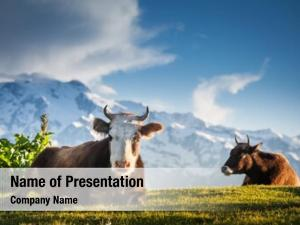Cows resting powerpoint template