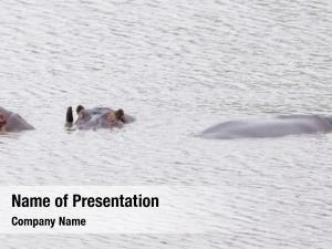Water rhinos submerged