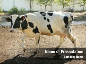 Farm cow grazing