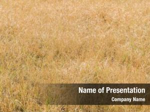 Field dry grass