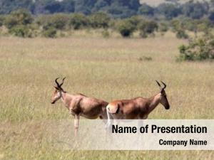 Mara hardebeast maasai national park,
