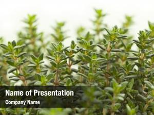 Thyme fresh green plant leaves
