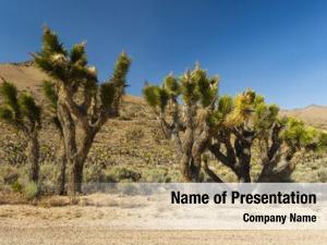 Trees many joshua (yucca brevifolia)