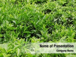 Tea tea growing plantation sri