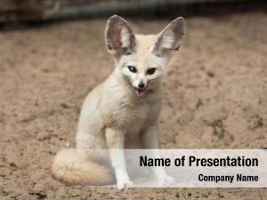 Fennec fox wildlife
