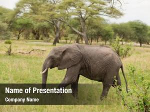Savannah elephant closeup african