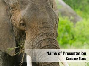 Natural elephant closeup african