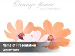 Flower orange daisy white