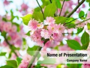 Pink flowers blossom sakura cherry