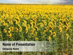Sunflowers field blooming sunset