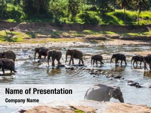 Bathing herd elephants jungle river