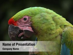Macaw great green (ara ambiguus),