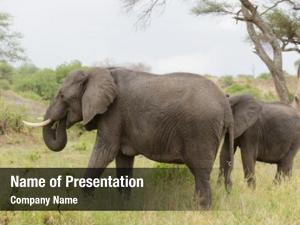 Wildlife elephant closeup african