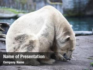Zoo polar bear close up