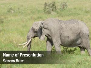 Serengeti elephant closeup african