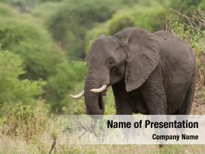 Foraging elephant closeup african