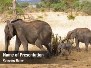 Tarangire elephant closeup african