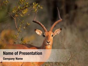 Impala portrait male antelope (aepyceros