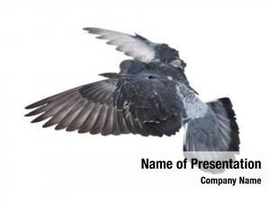 Dove photo flying white