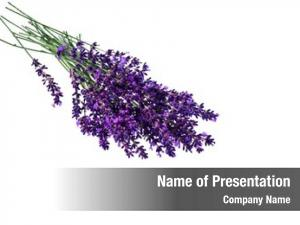 Against lavender flowers white