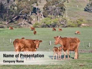 Farm cows field