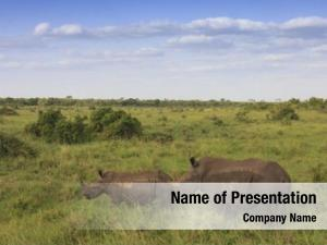 Mother white rhinos, calf