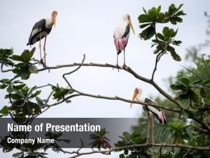 Perched painted storks tree top