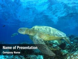 Turtle green sea white