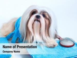 Dog shih tzu hair style