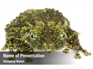 Theloderma mossy frog, corticale, also