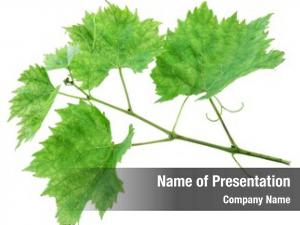 Grape leaves or vine
