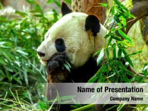 Shoots panda eating bamboo