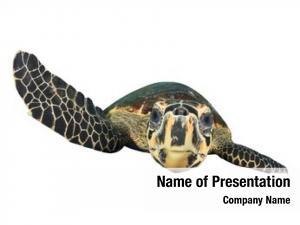 White sea turtle (hawksbill turtle