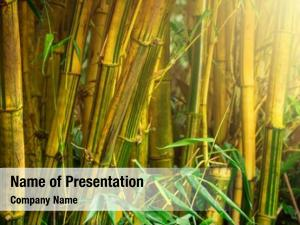 Jungle bamboo trees sunrays