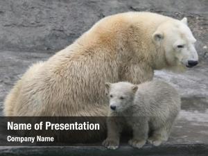Cub polar bear (ursus maritimus)