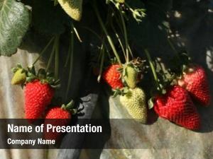 Fragaria strawberries aka Ã?Â? ananassa,