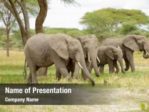 African elephant animal