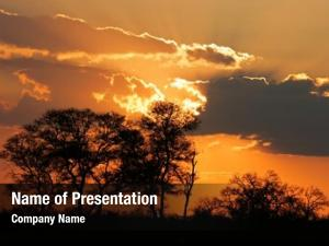 African sunset silhouetted savanna trees,