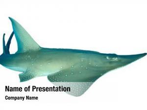 (shovelnose giant guitarfish ray) shark