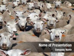 Sheep mob marked looking towards