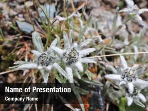 (leontopodium) edelweiss flowers close up alpine