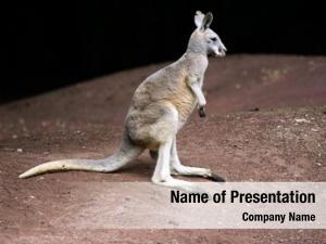 Family kangaroo marsupial macropodidae (macropods,