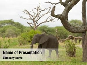 African elephant scientific