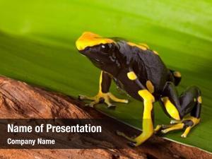 Poison orange black dart frog