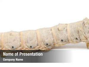 Bombyx silkworm larvae, mori, against
