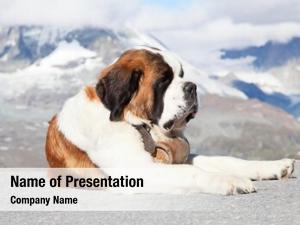 Keg bernard dog ready rescue