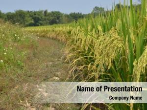 Rice Plant PowerPoint Templates - Rice Plant PowerPoint