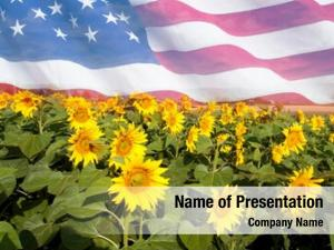 Sunflower field in sunny