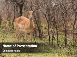 Bush female impala