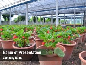 Cultivation greenhouse flowers